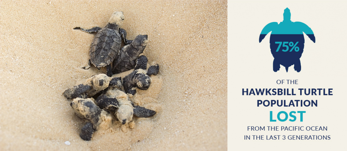 75% of Hawksbill Turtle Population Lost